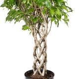 Ficus gevlochten koker stam