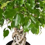 Ficus Exotica kamerplant