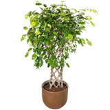 Ficus Exotica in pot