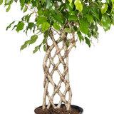 Ficus Exotica matje