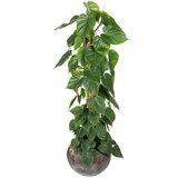 Philodendron Scandens kameroplant