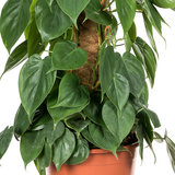 Philodendron Scandens mosstok