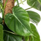 Philodendron Scandens blad