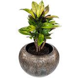 Croton Iceton kamerplant