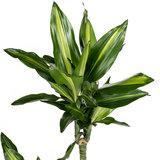Dracaena Cintho groen geel