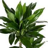 Dracaena Janet Lind schaduw plant