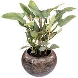 Philodendron Silver Queen rek in pot