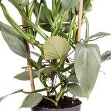Philodendron Silver Queen rek