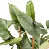 Philodendron Silver Queen bladeren