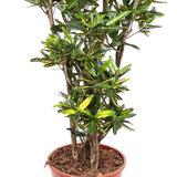 Croton Yellow Banana (Codiaeum)