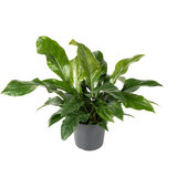 Anthurium Jungle Bush 65 cm