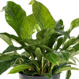 Anthurium Jungle Bush zonder bloem