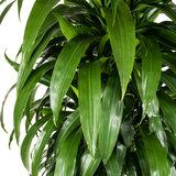 Dracaena Janet Craig groen blad