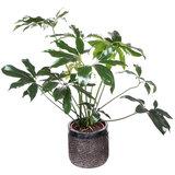 Green Wonder in pot