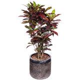 Croton Freckles in pot