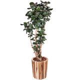 Polyscias Fabian in plantenbak