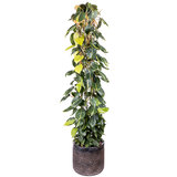 Philodendron Scandens Brasil in luxe pot