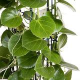 Cissus Rotundifolia / Kamerplant