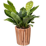 Anthurium Jungle King in pot