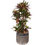 Croton Mammi in luxe pot