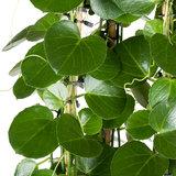 Cissus Rotundifolia bladeren