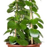 Cissus Rotundifolia kamerplant