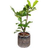 Ficus Lyrata in luxe pot