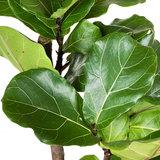 Ficus Lyrata blad