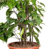 Dracaena Surculosa kamerplant