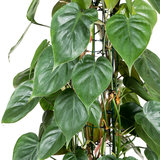 Philodendron Scandens bladeren