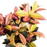 Croton Iceton bladeren