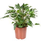Philodendron Xanadu 75 cm