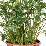 Philodendron Xanadu schaduwplant