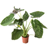 Alocasia Wentii 80 cm kamerplant