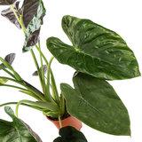 Grote bladeren Alocasia Wentii