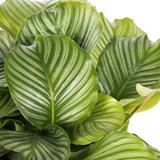 Calathea Orbifolia blad