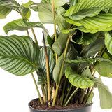 Calathea Orbifolia Ritselplant