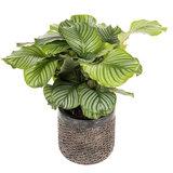 Calathea Orbifolia in luxe pot