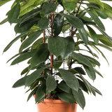 Ficus Cyatistipula zuil vorm