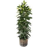 Ficus Cyatistipula in luxe pot