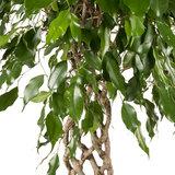 Ficus Exotica groen