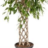 Ficus Exotica stam matje