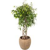 Ficus Exotica in luxe plantenbak