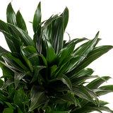 Kamerplant groen