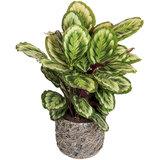 Calathea in luxe plantenbak