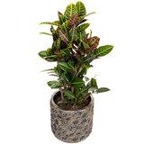 Croton in luxe plantenbak