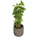 Groene kamerplant in luxe pot