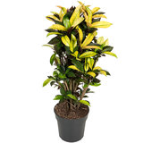 Croton Wonderstruik kamerplant