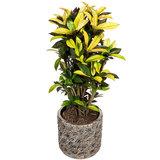Croton / Codiaeum in luxe pot