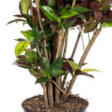 Croton vertakt